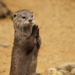 otter praying for food :)